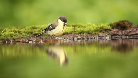 Great Tit, Parus major, black and yellow songbird sitting in the water, nice lichen tree branch, bird in the nature habitat, spring - nesting time, swimming in the water. Germany