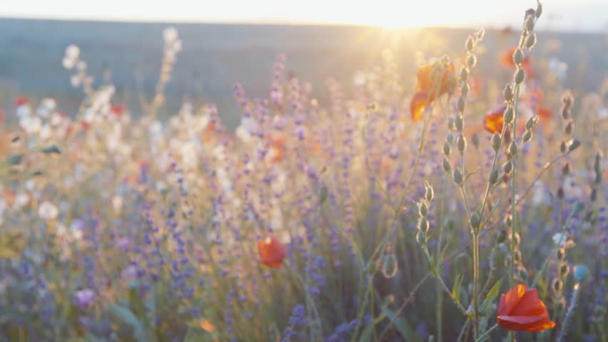 Slow motion tracking shot of lavender, poppy and wild herbs in a field on the sunset. | Shutterstock HD Video #17216077
