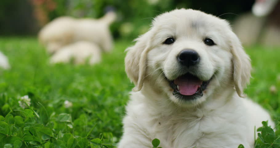 Puppies of golden retriever playing on the grass in a beautiful garden on a sunny day #17223499