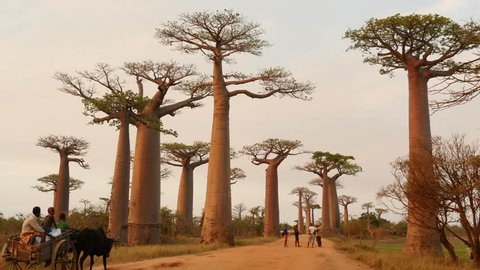 Allée des Baobabs, famous spot in western Madagascar, in evening light