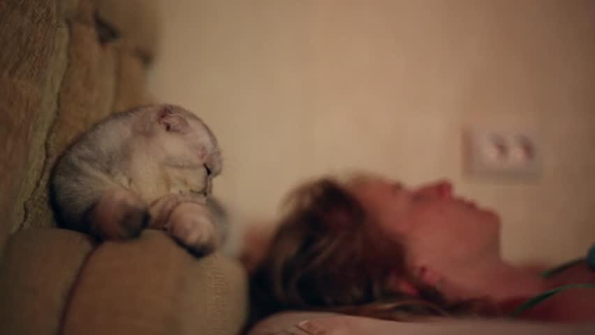 SAMARA, SAMARA REGION/RUSSIA - FEBRUARY 15: Scottish fold cat wakes his sleeping mistress at night, the mistress caresses the cat on February 15, 2016 in Samara  #17368459