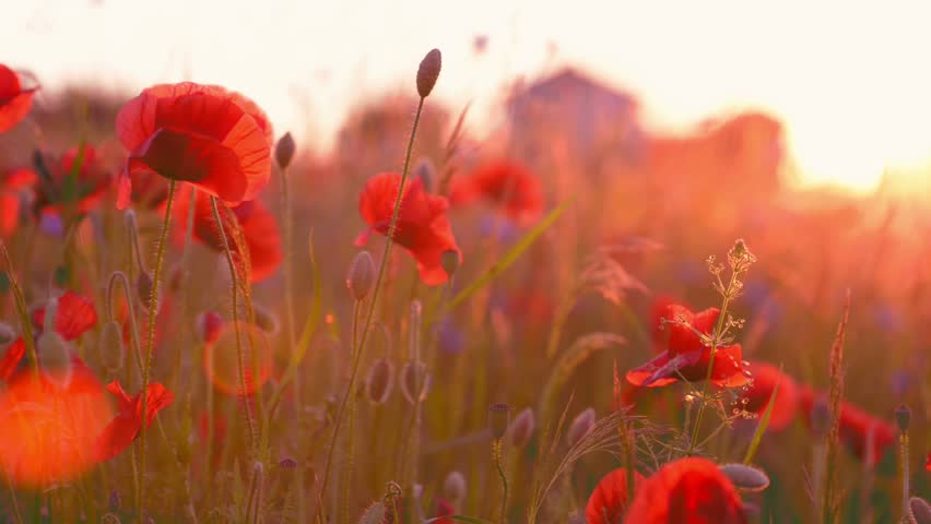 Poppy Flowers Field at Sunset, Stock Footage Video (100
