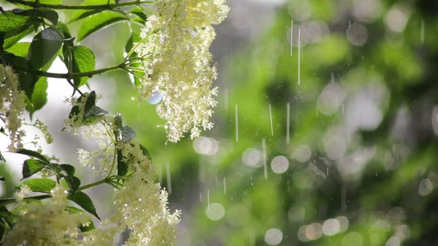 rain on elder blossom in the glaring light