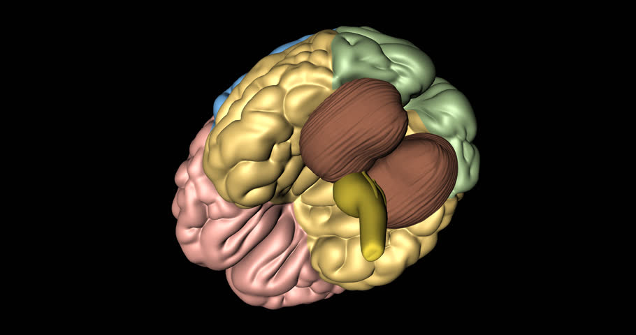 Animation of cerebrum, cerebelum and medulla oblongata in rotation seen from below