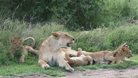 Lion cubs (Panthera leo) playing with lioness mother on the savanna