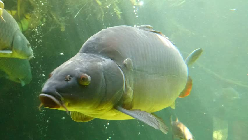 Big carp and common bream close up. Underwater shot in lake. Diving in fresh water.