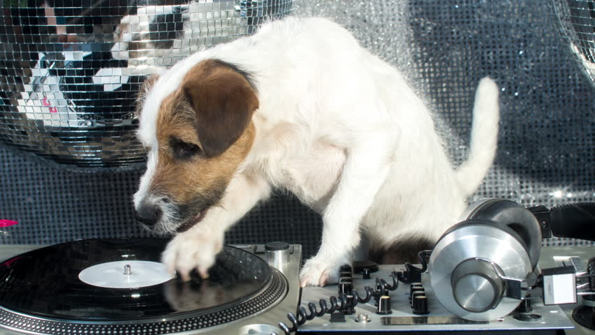 Dj dog is in the house! an adorable jack russell dog in a club and disco situation | Shutterstock HD Video #17565580