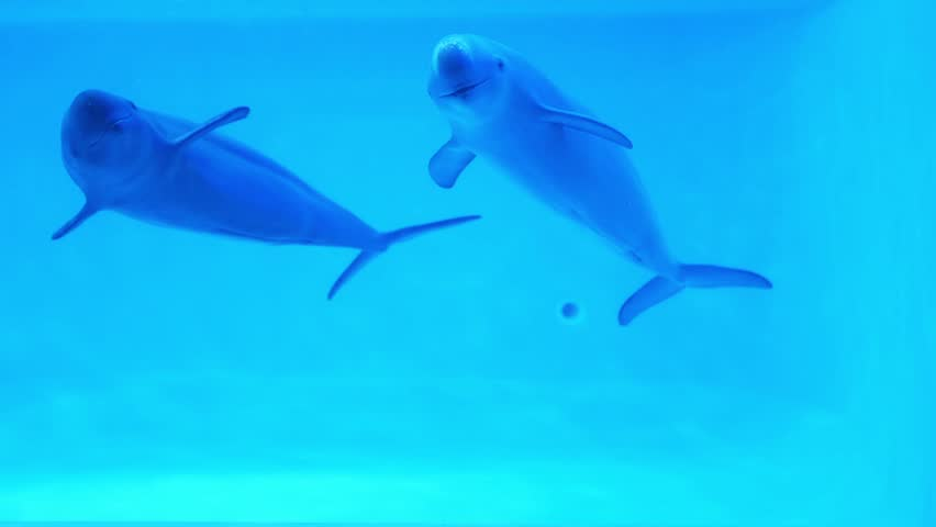 Two dolphins  swimming with fun in Aquarium  | Shutterstock HD Video #17615329