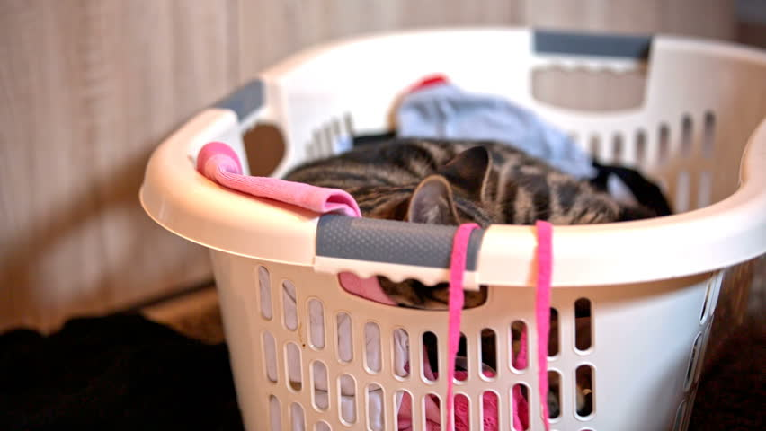 Cat lying inside clean laundry basket. Cute British breed cat trying to find perfect spot for resting inside a laundry basket with clean clothes. | Shutterstock HD Video #17686279