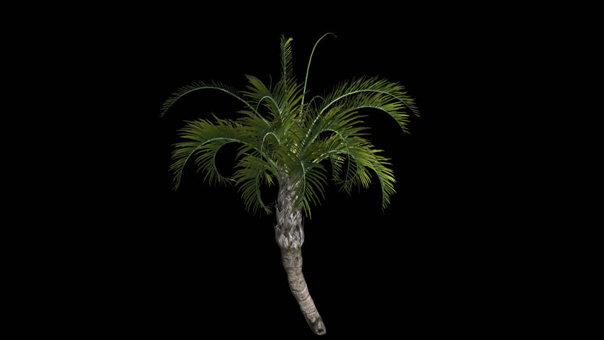 Curly Palm Tree Growing with Alpha Channel Plant Growth Animation