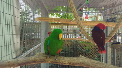 Grand Eclectus Parrot - a green and 2 red grand eclectus parrots. Although they are different colors they are the same parrot type. Green parrot is male, and the red parrots are females.