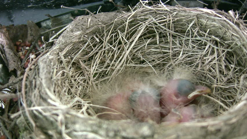 four robin chicks in nest