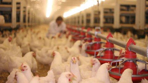 Farmer working on chicken farm