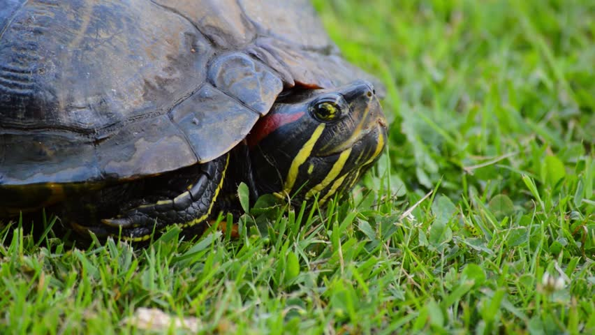 Red eared turtle head slowly emerging from its shell looking around closeup on fresh green grass