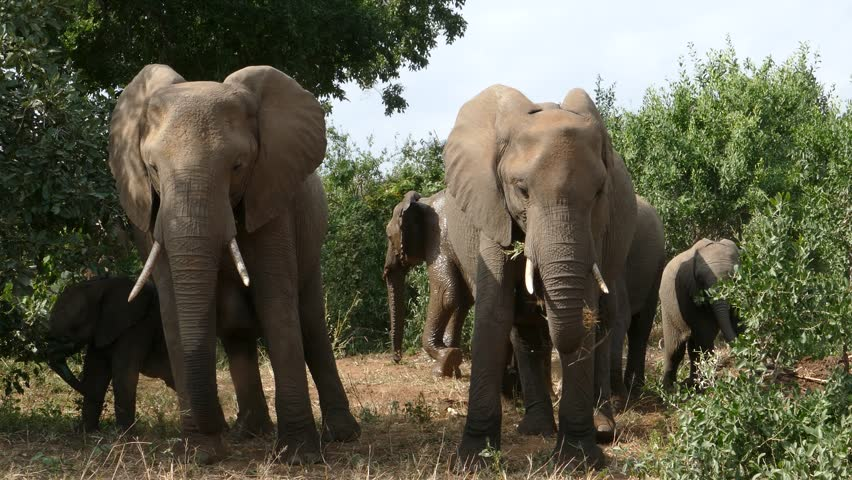 Elephant scratching his leg and ass to a tree in kruger national park south africa stock footage - Elephant assis ...