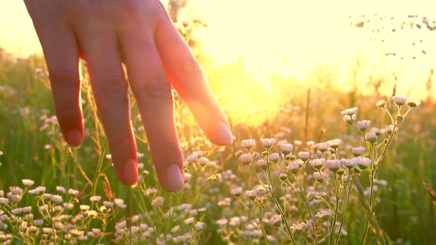 Young woman hand running through wild meadow field. Female hand touching wild flowers closeup. Summertime concept. Enjoying nature. Slow motion video footage 240 fps. Full HD 1080p | Shutterstock HD Video #17913679