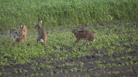 group of hares running and fighting, mating season