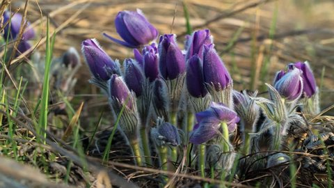 Pasque flower bloom after sunrise. Time Lapse.
