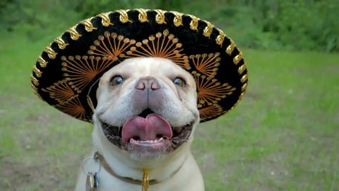 Cute French Bulldog dog wearing funny sombrero party hat