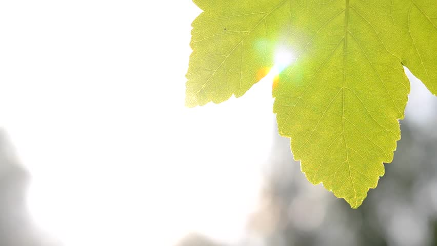 green leaf with backlight on background