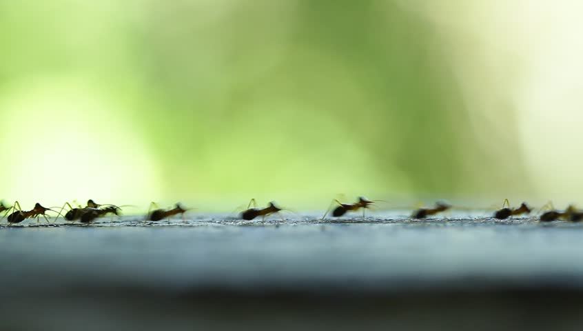Ants take the lead to success | Shutterstock HD Video #18150736