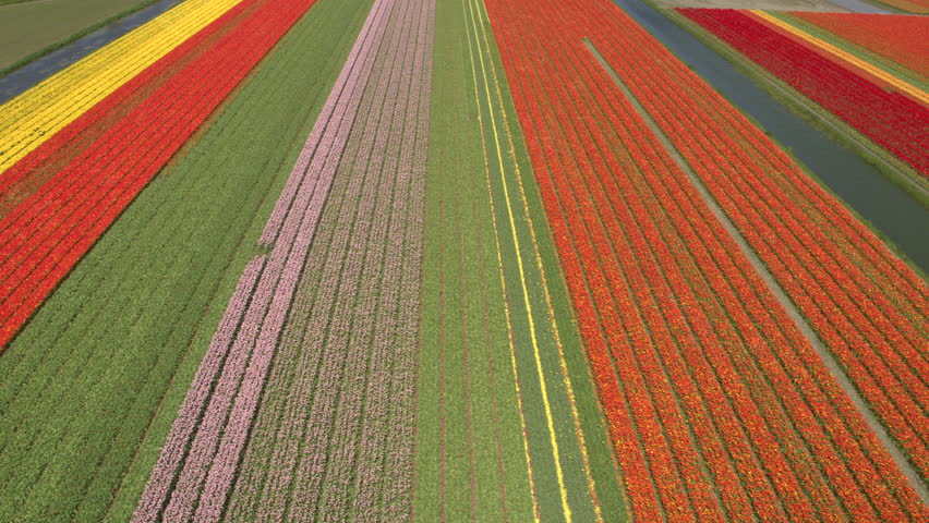 AERIAL: Flying above rich colorful rows of lush blooming tulips on beautiful vast field on sunny summer day. Red, yellow and pink blossoming tulips growing on endless garden in famous touristic spot