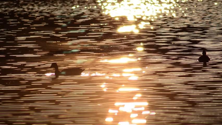 Stock video of ducks walking on the lake that   18302419   Shutterstock