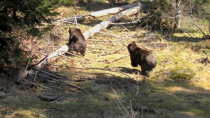 Brown Bear (Ursus arctos) in the Bayerischer Wald National Park, Bayern, Germany