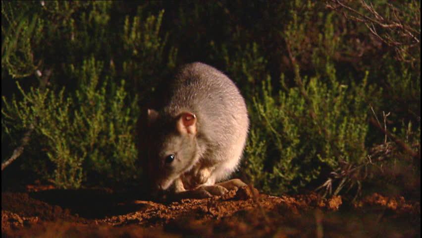 Header of wallaby