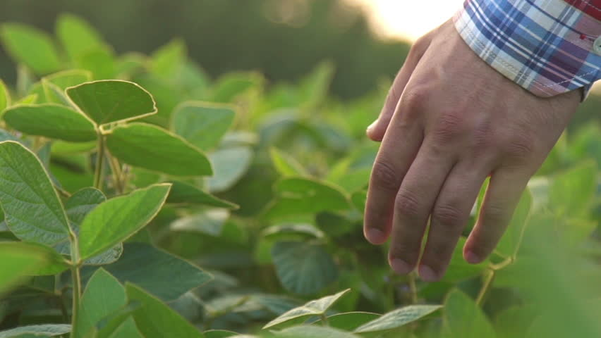 Green leaves of soy bean in hand. Slow motion | Shutterstock HD Video #18361276