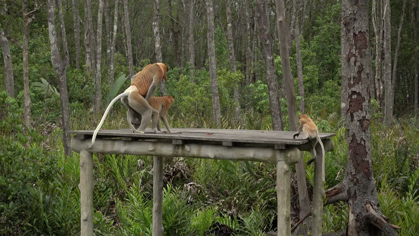 4k Proboscis Monkey (Nasalis larvatus) mating sex