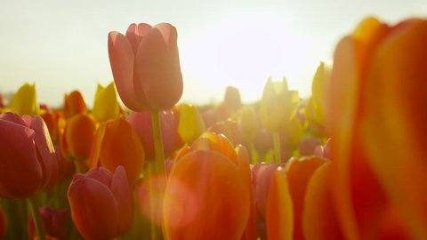 CLOSE UP, SLOW MOTION, DOF: Amazing rosy red, yellow and orange tulips blooming at beautiful local touristic park at early sunny evening. Fragile tulip flowers blossoming at late sunny morning