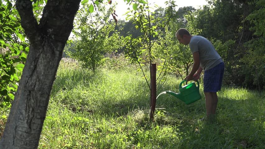 Gardener Man Watering Fruit Tree At Orchard Garden With Watering Pot. 4K    4K Stock
