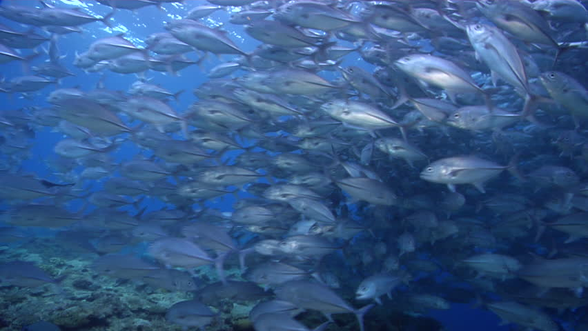Bigeye trevally swimming and schooling on shallow coral reef, Caranx sexfasciatus HD, UP27668