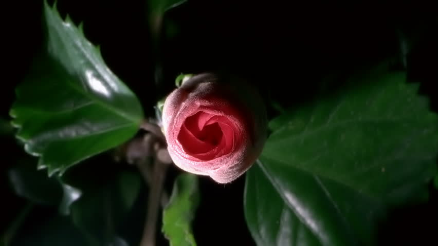 Red Hibiscus Flower Blooming in Time-lapse