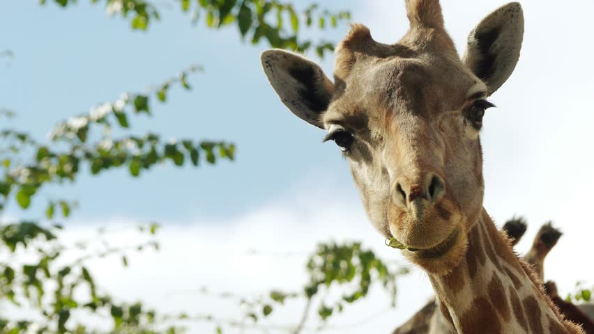 The giraffe (Giraffa camelopardalis) is an African even-toed ungulate mammal, the tallest living terrestrial animal and the largest ruminant. It is classified under the family Giraffidae.