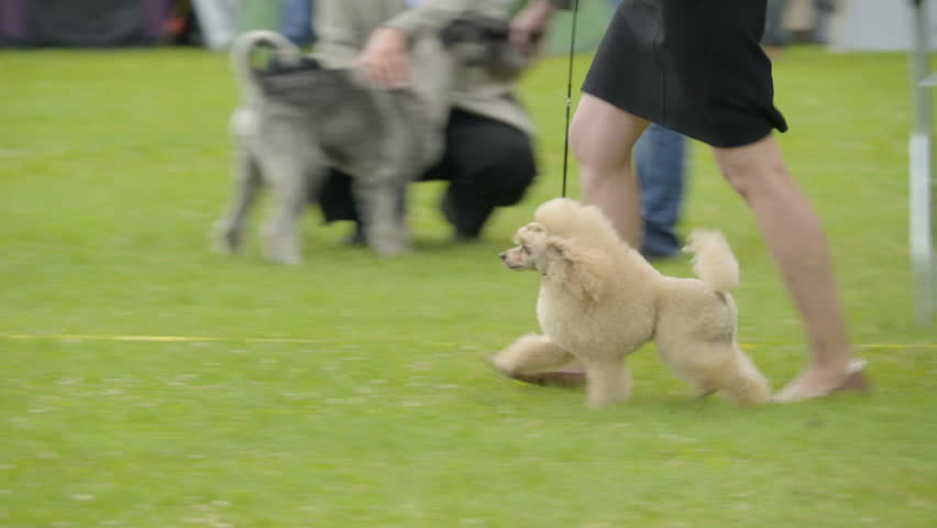 A brown Poodle dog on the run with his owner the lady owner holding on the leash of the dog
