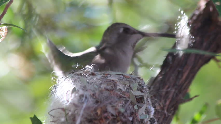 Hummingbird builds nest, close up, carries fluffy bits in beak, inserts it into nest, tamps it down with feet. 1080p