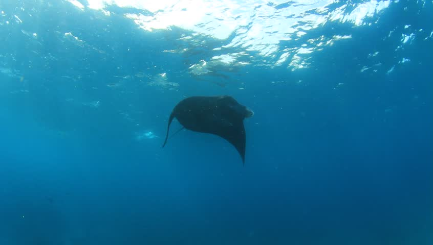 Manta rays | Shutterstock HD Video #18592379