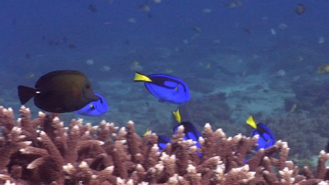 Palette surgeonfish swimming and schooling, Paracanthurus hepatus HD, UP20774