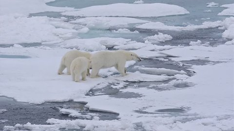Polar bear sow and two cubs walking on the sea ice in Polar Bear Pass north off Baffin Island in Nunavut, Canada. (Nunavut, Canada 2010s)