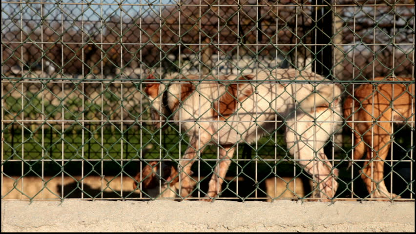 Aggressive dogs about to fight locked and tied in a kennel