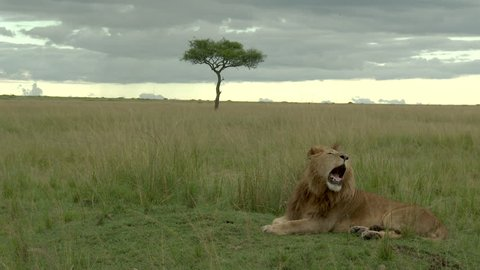 Male Lion (Panthera leo) yawning on savannah with Acacia tree in background