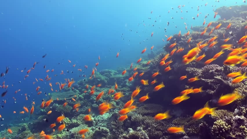 Underwater shot of teaming hard tropical coral reef top in Red Sea and floating around small colorful fish. Amazing, beautiful marine life world of sea creatures. Scuba diving and tourism.