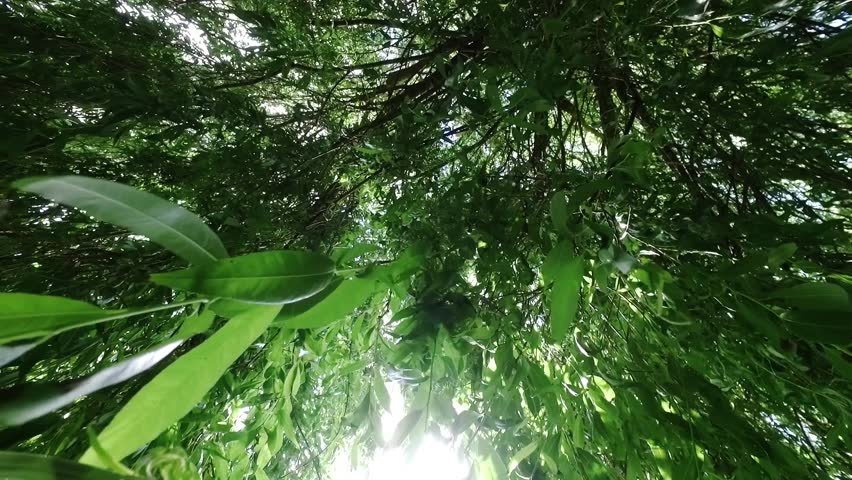 Looking upward through tree leaves in breeze of a weeping willow tree with the sun through the leaves.
