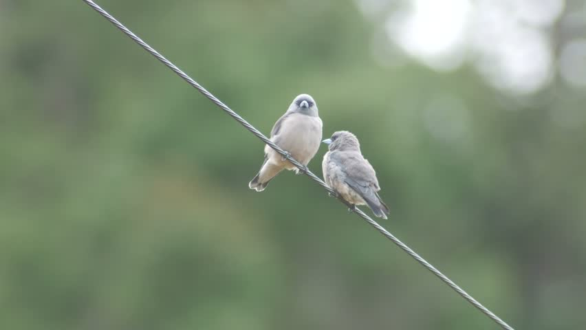 two ashy woodswallow birds are coming close each other on electrical wire