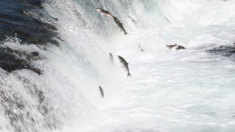 Hundreds of sockeye salmon leaping into the air to try and get over the waterfalls at Brooks Falls in Katmai National Park, Alaska
