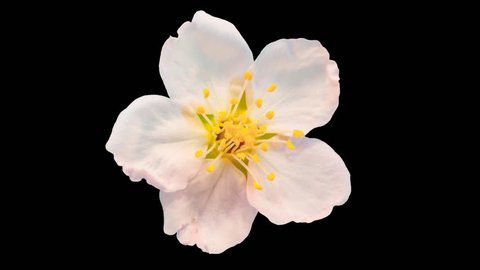 Almond flower growing and blossoming macro time lapse isolated with alpha, encoded with photo-png/Almond flower time lapse/Almond time lapse