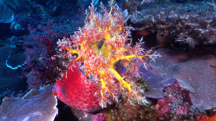 Sea apple feeding on deep coral reef, Pseudocolochirus violaceaus HD