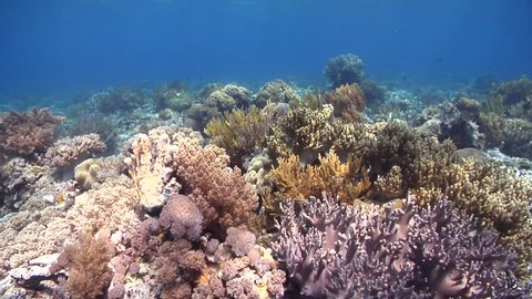 Ocean scenery mostly brown soft corals, hard corals mostly dead, on shallow coral reef, HD, UP30411